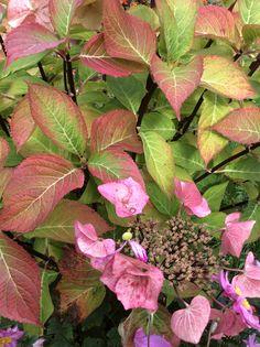 Autumn colour: Hydrangeas