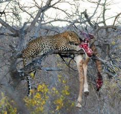 Leopard Kill, Kruger National Park