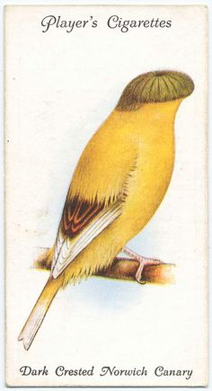 Dark Crested Norwich Canary. From New York Public Library Digital Collections.