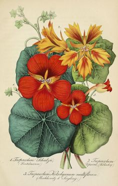 Nasturtium. Hardy annual vines and mounding plants with brightly colored, spurred flowers that have a mildly spicy flavor. (1854) |From the botanical illustration collection of Swallowtail Garden Seeds. This image is in the public domain. Right click to download. Use as you choose.