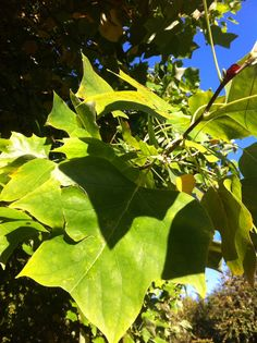 Tulip tree (Liriodendron tulipifera) - late summer- early autumn