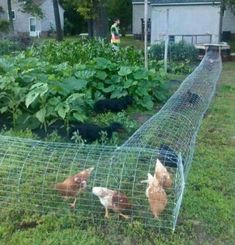 22 Low-Budget DIY Backyard Chicken Coop Plans DIY Chicken Tunnel-design a specific area for the chickens to walk through the garden. The post 22 Low-Budget DIY Backyard Chicken Coop Plans appeared first on Outdoor Ideas. Backyard Chicken Coop Plans, Building A Chicken Coop, Chickens Backyard, Chicken Garden, Chickens In Garden, Chicken Home, Backyard Farming, Backyard Birds, Chicken Coop Plans Free