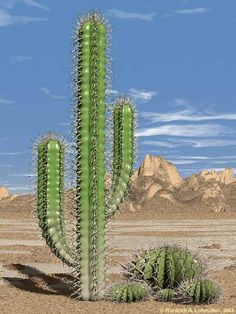 Desert Cactus Plants http://www.guzmansgreenhouse.com/desert-shrubs/desert-landscape.htm