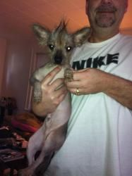 Chaos is an adoptable Xoloitzcuintle (Mexican Hairless) Dog in Syracuse, NY.