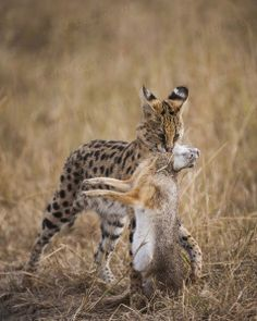 Rare images of wild Serval cubs taken in Masai Mara, Kenya Small Wild Cats, Small Cat, Big Cats, Cute Cats, Animals Beautiful, Cute Animals, Serval Cats, African Serval Cat, Warrior Cats Books