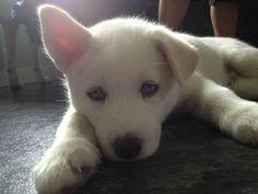 Wonderful All About The Siberian Husky Ideas. Prodigious All About The Siberian Husky Ideas. White Husky Puppy, White Siberian Husky, Siberian Husky Puppies, Siberian Huskies, Husky Husky, Baby Puppies, Cute Puppies, Cute Dogs, Dogs And Puppies