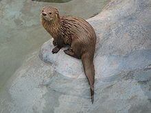 Marine otters are rare and are protected under Peruvian, Chilean, and Argentine law. In the past, they were extensively hunted both for thei...