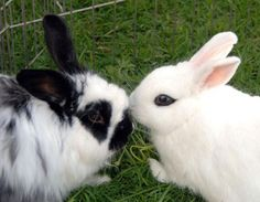 Sometimes it can be hard to tell if your bunny loves you because rabbits do not communicate with words. Here are 5 signs that may indicate your bunny loves you.