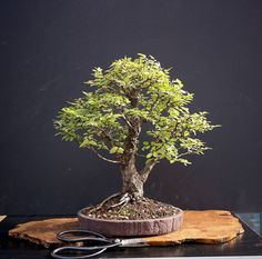 A guide to growing bonsai that describes the necessary basic information with various tips on critical techniques for beginners and bonsai enthusiasts. In addition, offers trees and the supplies needed to actually grow bonsai trees for gardening.
