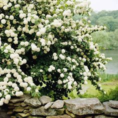 Snowball viburnum - flowering hedge, requires full sun/partial shade, stands 3-15 ft tall and 3-12 feet wide.  Perfect for backyard privacy! :)                                                                                                                                                      More