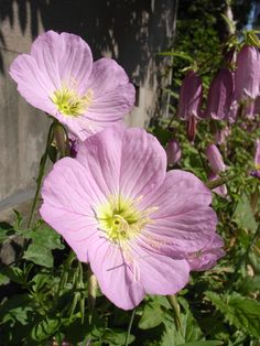 Pink Evening Primrose: Oenothera Biennis i have these planted in my front yard. it is a partial shade full sun area. i planted it three years ago and it has come back bigger and better every year. they are a great spreading plant and mine grow to about 8-12 inches tall. ~Barb