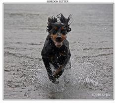 Gordon Setter  by saethor, via Flickr