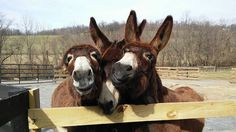 Little Longears Miniature Donkey Rescue_young Mammoth mules begging for treats  :o)