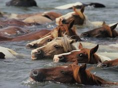 """Wild pony swim at Chincoteague Island. Ever read the novel """"Misty of Chincoteague""""?  The Pony Swim has occurred since 1925.  The horses horses swim across the shallow waters between the Assateague (MD) and Chincoteague (VA) Islands.  I want to go see this sometime!! I loved that book when I was younger"""