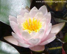 Water lily in Brenda Haas's pond
