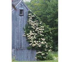 hydrangea anomala kletterhortensie schatten kletterpflanze pflanzen f r ost terrasse. Black Bedroom Furniture Sets. Home Design Ideas