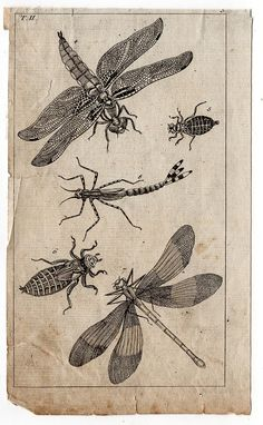 1809 DRAGONFLY INSECTS & BUGS original by antiqueprintstore