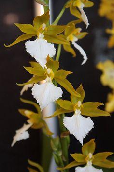 Orchid - Rhynchostele bictoniense var. sulphureum 'Walter Scheeren'