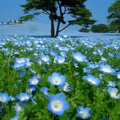 field of flowers Dad this is for you! I know how much you loved the color Blue~ love marilyn