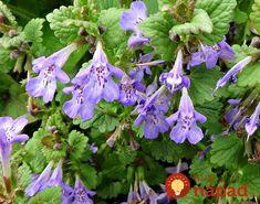 Práve teraz ju možno prekračujete aj vo vašej záhrade: Oplatí sa však pozrieť pod nohy, nenápadná rastlina má úžasnú silu!