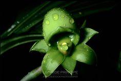 Catasetum sp.