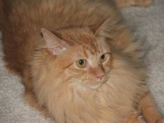 Sammy who was a male nuet/de-clawed maybe Maine-Coon that we picked up on Holloween 2010... Now the Chubby is a CHICK and a real STEAL. We love her. Thank you Grand Strand Human Society...