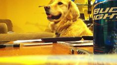 Golden Loves Guitar ! - I'm sure you've already seen this video, but, it's still cute.