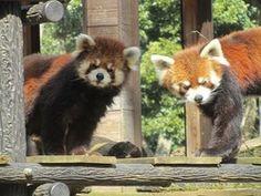チィチィ(左)と風太=千葉市動物公園提供