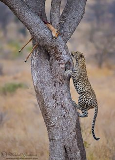 www.africaninsight.co.za #africaninsight #southafrica #africa #wildlife #krugernationalpark #kruger #volunteer #transformationaljourney #bucketlist #safari #youthtravel #youth #experience #leopard #cat #cats #dangerous #animal #leopardprint #predator #zululand  © Morkel Erasmus