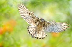 Kestrel Spread Wings by FuYi Chen on 500px