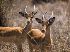 Impalas, Kruger National Park