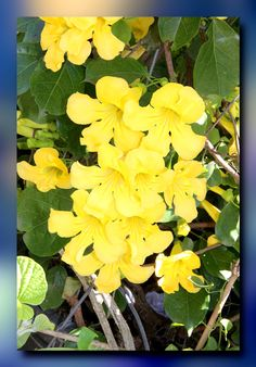 The 100 best vines in the philippines images on pinterest rare yellow trumpet vine mightylinksfo