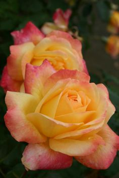'Speelwark' ~ Hybrid Tea Rose