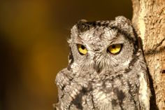 For many native species in Canada, our human settlements mean the end of the road. Last in a series. Western Screech Owl, Human Settlement, Ecology, Mother Earth, Stuff To Do, The Row, Death, Bird, Nature