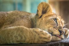 Tired Lion Cub by helenehoffman Nothing beats a good cat nap.