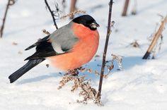 Mökkiloki: Lintulaudan vieraat Where To Go, Beautiful Birds, Finland, Wilderness, Dining, Winter, Christmas, Animaux, Winter Time