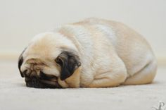 pug loaf - the pug of my dreams