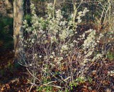 Amelanchier spicata (dwarf serviceberry, dwarf shadbush): Go Botany Dwarf, Botany, Plants, Planters, Dwarfism, Plant, Planting