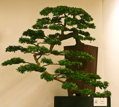 Bucida spinosa bonsai the plant commonly known as. Description from ruhalayaseminary.org. I searched for this on bing.com/images