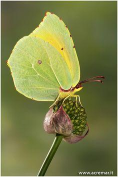 Cleopatra Butterfly (Gonepteryx cleopatra)