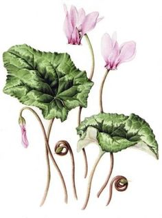 Cyclamen hederifolium, Misc flowers, Julia Trickey, SAA Professional Members' Galleries
