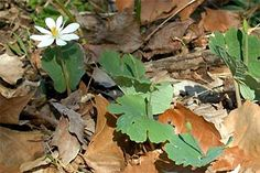 "Bloodroot  -                                           One of our most beautiful woodland wildflowers. Conspicuous white flowers, 5cm/2"" across, appear in early spring. Important dyeplant: roots yield red-orange colour for dyeing wool."