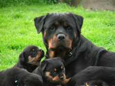 Rottweilers - Pepper & Puppies Chillin' (80 pieces)