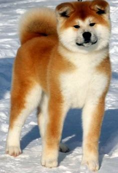 Akita dog :) so cute!!