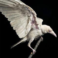 Pearl a rare albino raven.