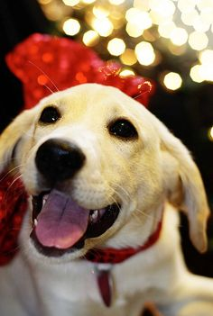 "Christmas Dog • I smile when my human says, ""it's almost Christmas."" •••• Yellow Labrador Retriever"