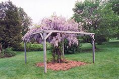 Click to view full-size photo of Aunt Dee Wisteria (Wisteria macrostachya 'Aunt Dee') at Landsburg Landscape Nursery