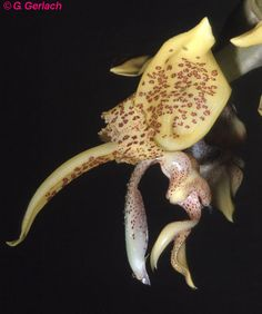 Stanhopea costaricensis. Panamá: Prov. Darién, Chepo