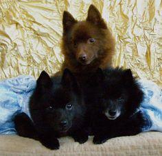brown and black schipperkes