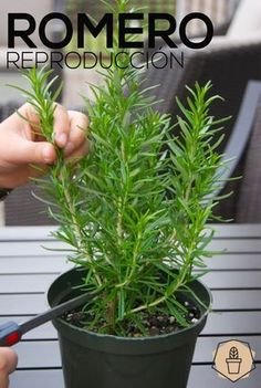 Rosemary Plant: How To Care For The Herb Rosemary How To Propagate Rosemary by Pictures Garden Plants, Indoor Plants, Herb Plants, Eco Garden, Garden Club, Garden Art, How To Propagate Lavender, How To Plant Lavender, Rosemary Plant